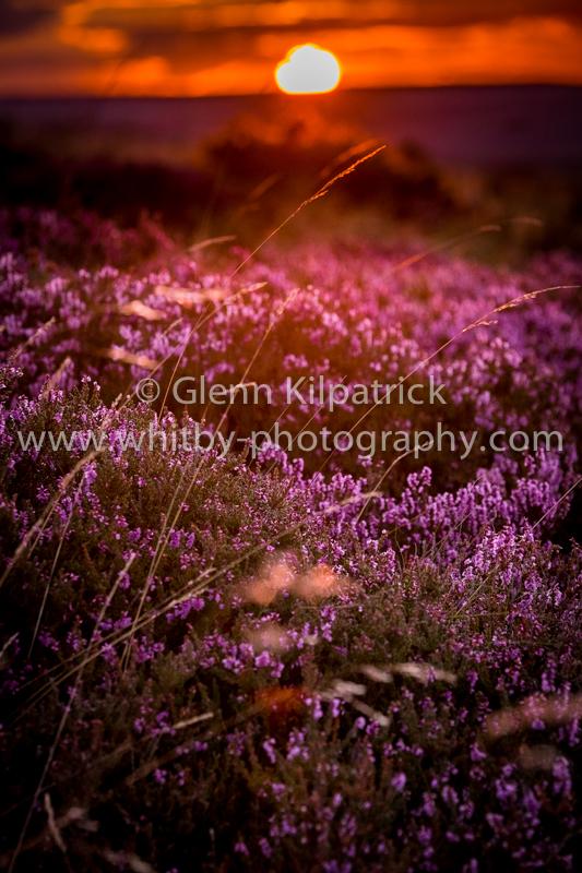 Ravenscar heather with orange sunset