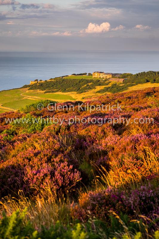 Ravenscar heather - Raven Hall in the background
