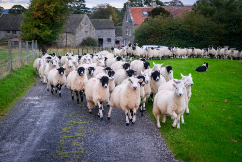 Sheep Dog Rounding Up the Flock At Goathland