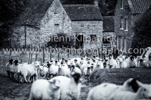 Goathland Sheep Farming