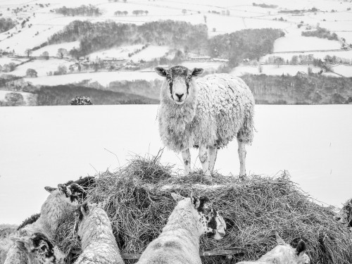 Egton Sheep In The Snow