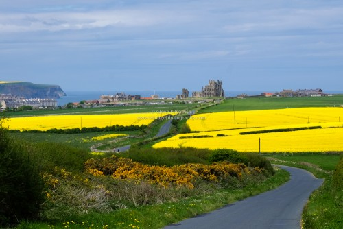 Whitby Abbey Through Rape Seed Fields.