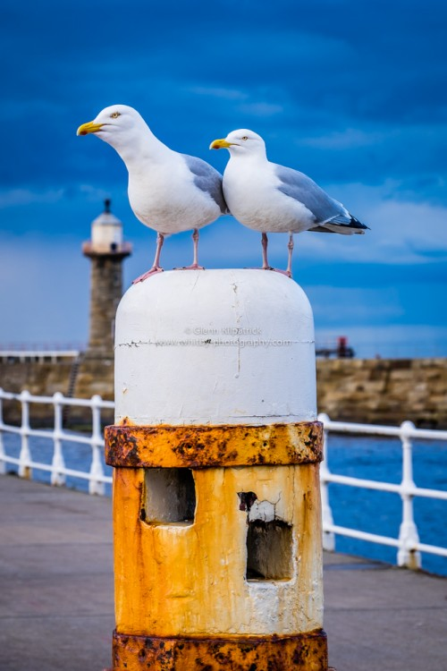 Whitby Sea Gulls On The West Pier