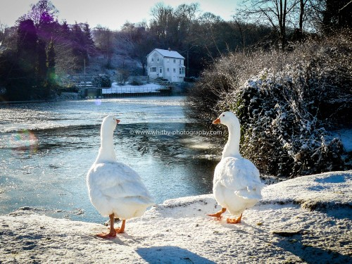 The Frozen River Esk - Two Geese Looking Out.