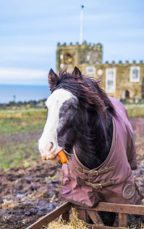 Ponies Eating Carrots At Whitby