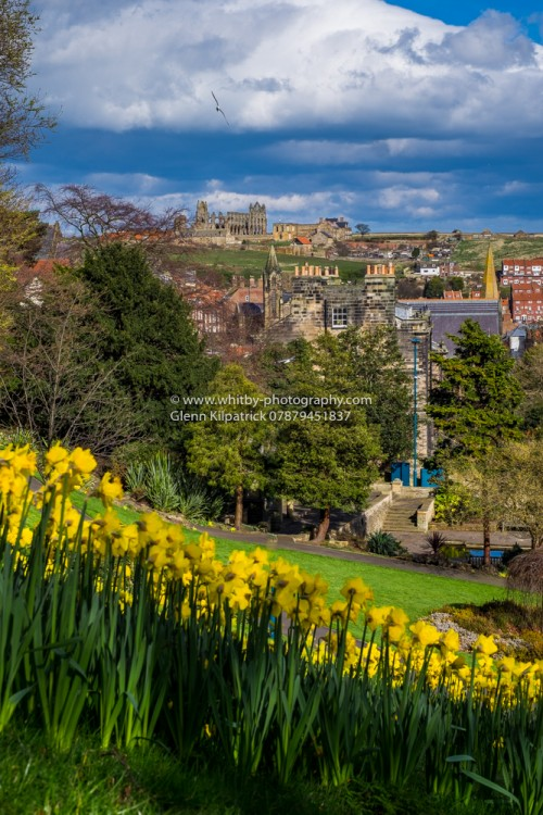 Whitby Abbey From Pannett Park With Spring Daffodils In the Foreground