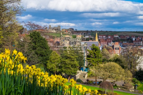 Whitby Abbey from Pannett Park With Daffodils In The Foreground