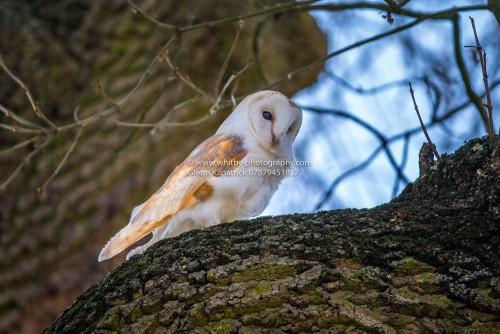 Barn Owls Of Yorkshire