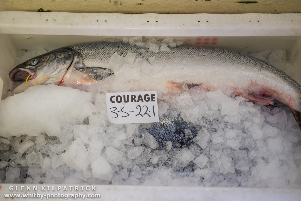 Fresh Whitby Salmon. Iced Down And ready For Sale