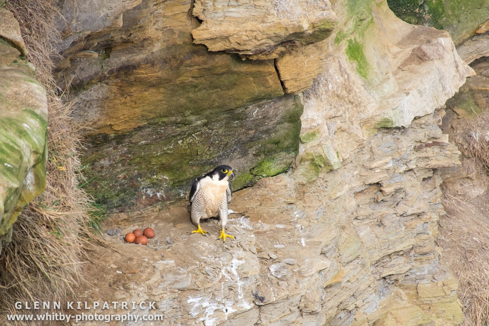 A Peregrine Falcon With Four Eggs On The Yorkshire Coast Near Whitby.
