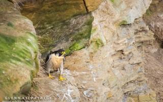 Peregrine Falcons Living On The Yorkshire Coast Near Whitby