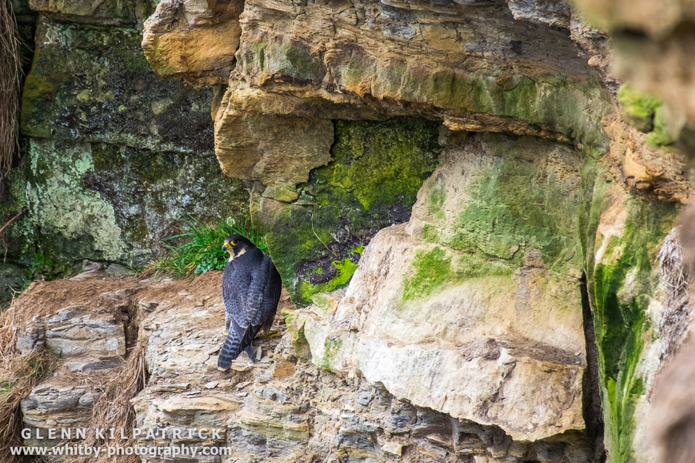 whitby peregrine falcons whitby photography