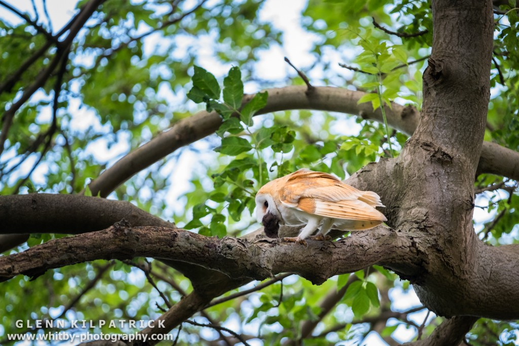 NORTH YORKSHIRE BARN OWLS - The First Flight