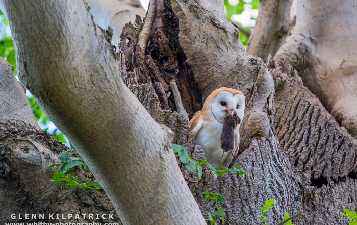 A Young Barn owl With Freshly delivered Meal.