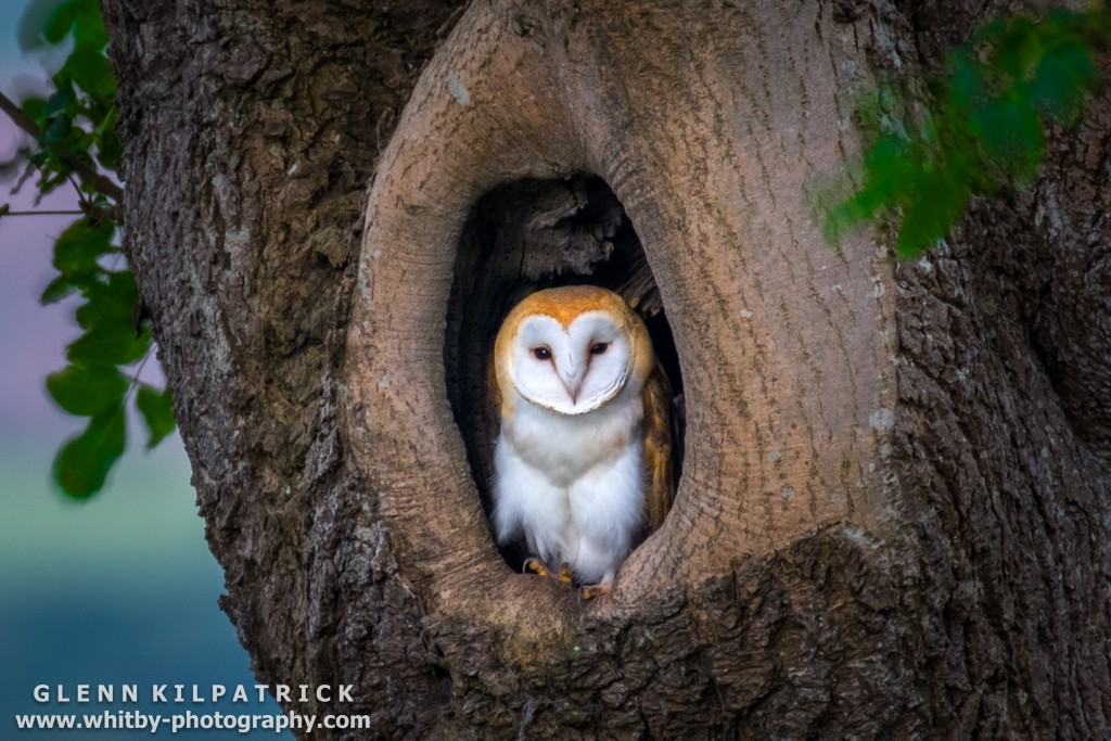 A Single Baby Barn Owl All But Ready To Fly The Nest