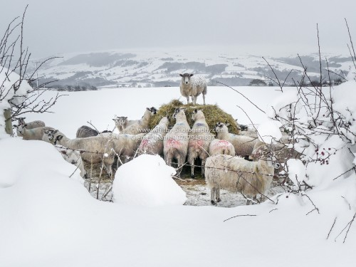 Egton Sheep In the Snow - By Glenn Kilpatrick The Whitby Photographer