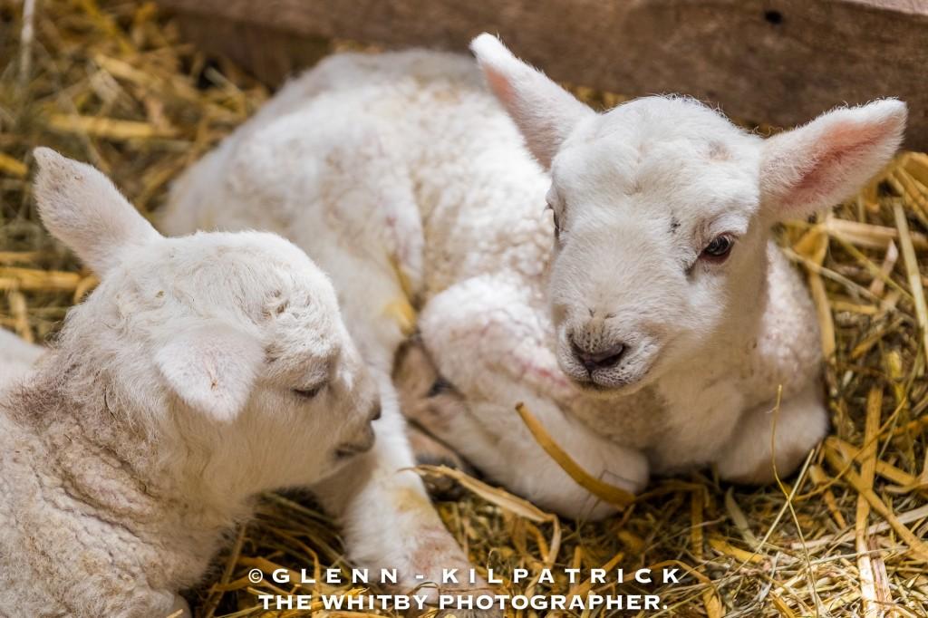Spring Lambs At Egton Bridge