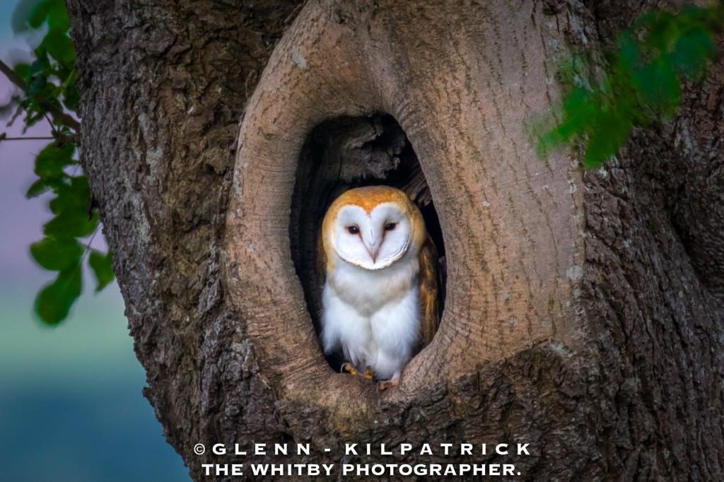 June - North York Moors Barn Owl
