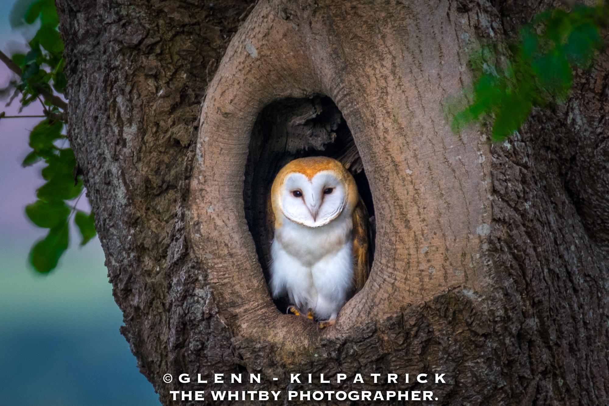 North York Moors Barn Owl