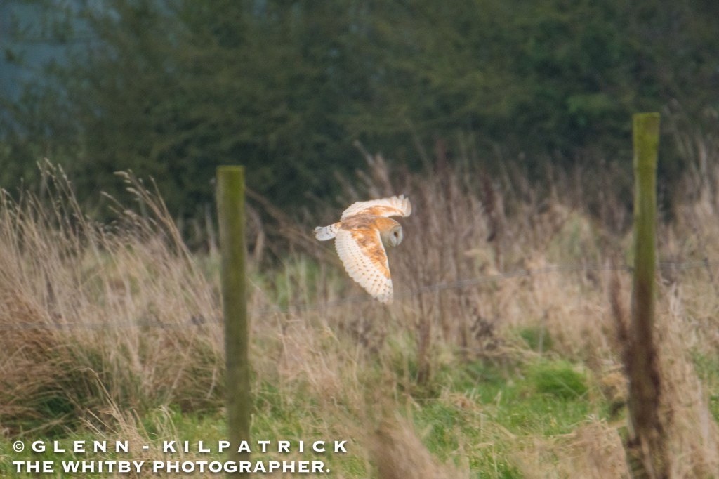 Barn Owls At Ugthorpe In The North York Moors National Park