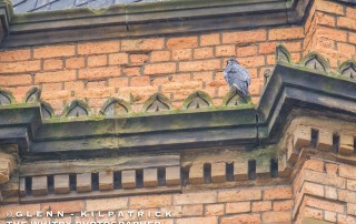 Peregrine Falcon Sat On Top Of Scarborough's Grand Hotel