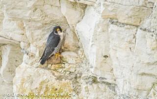 Bempton Cliffs And Flamborough Head Wildlife