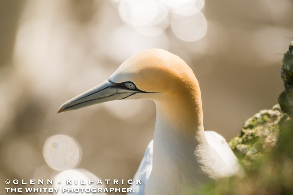 Bempton Cliffs And Flamborough Head Wildlife