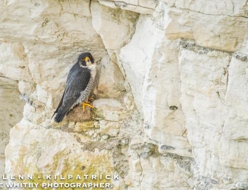 A Day At Bempton Cliffs RSPB