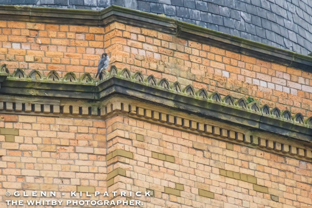 Scarborough Peregrine Falcons