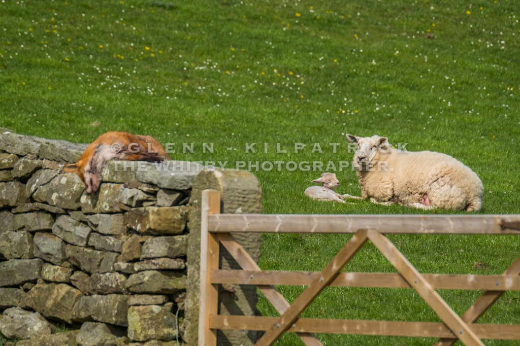 Lambing Time On The North York Moors - The Dead Fox. In the background, one of the lambs it was waiting to kill at the time of its birth
