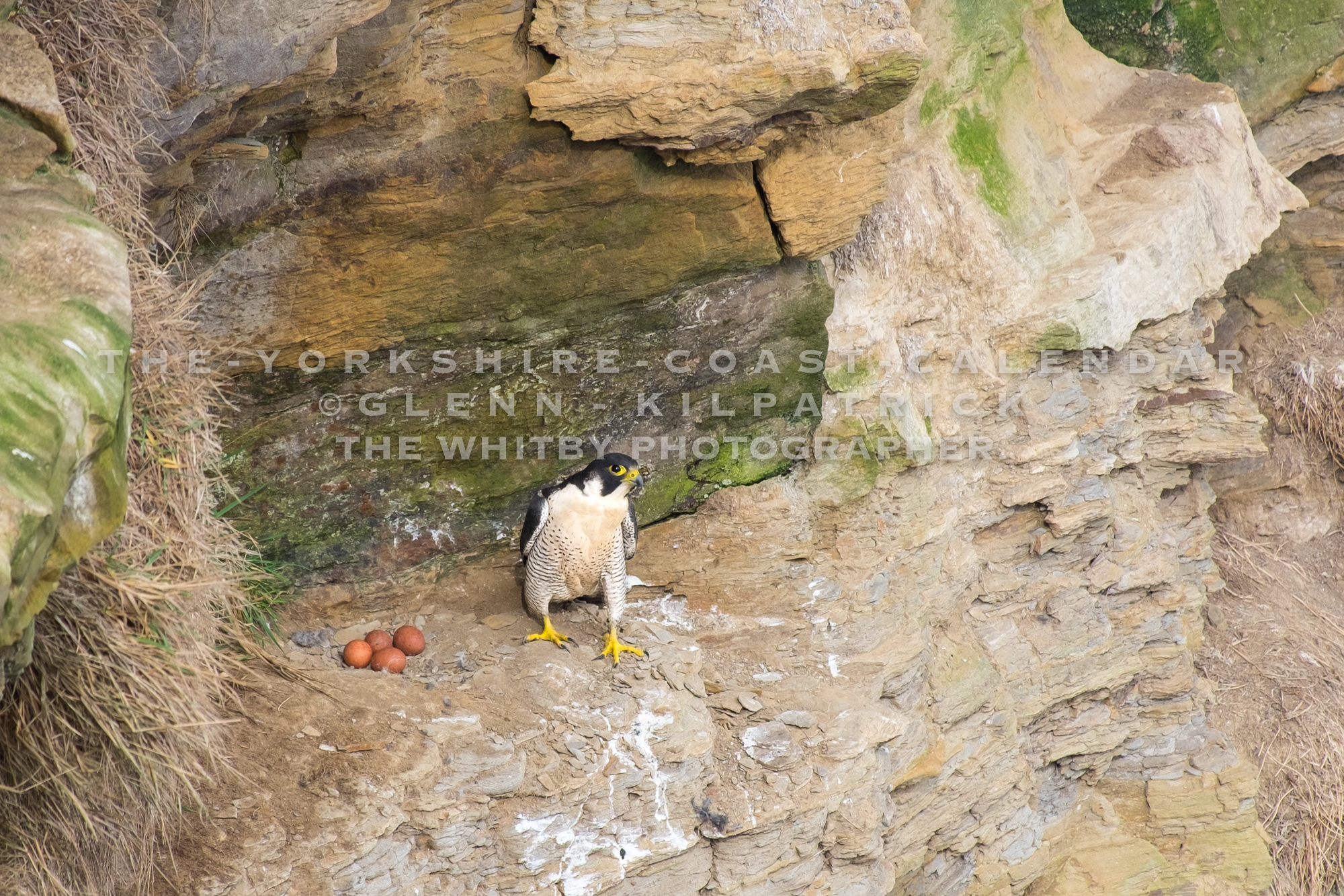 The Worlds Fastest Animal. The Peregrine Falcon Guards Her Nest On The Cleveland Way - The Yorkshire Coast Calendar 2018 By Glenn Kilpatrick.