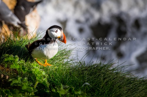 Puffins At RSPB Bempton - The Yorkshire Coast Calendar 2018 By Glenn Kilpatrick.