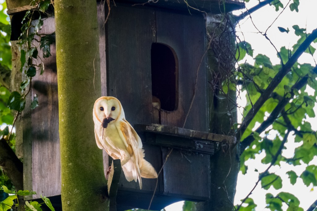 North York Moors Barn Owls