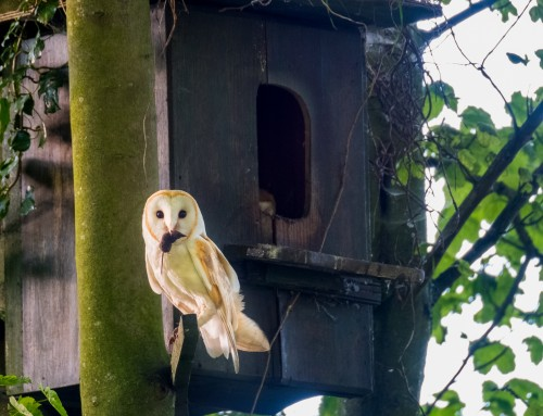 Barn Owls In The North York Moors National Park