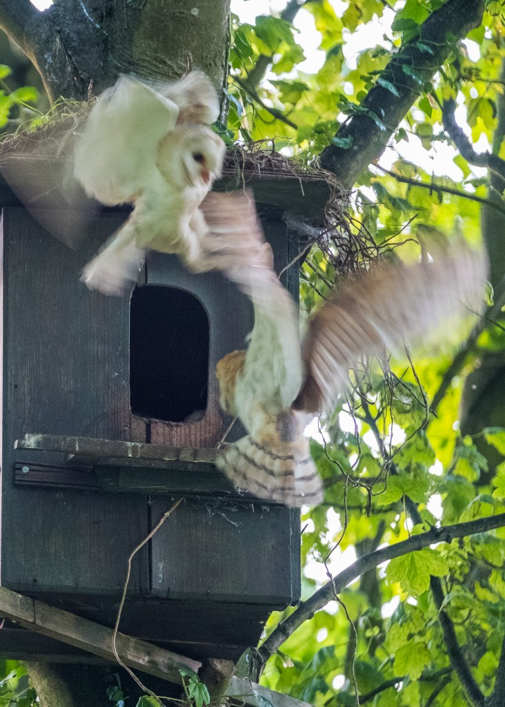 North York Moors Barn Owls. Parent bird fighting off a strong fledgling with the aim of getting food to the youngest bird of the brood.