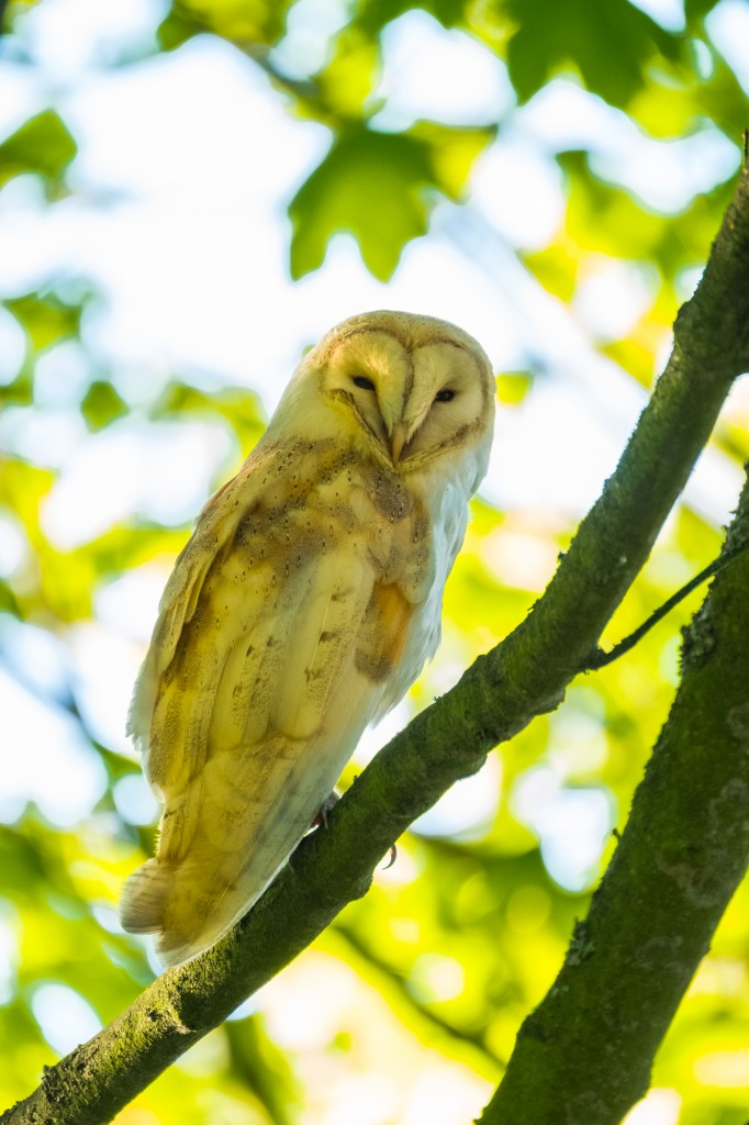 North York Moors National Park Barn Owl