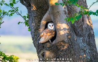 Barn Owls In North Yorkshire. National Park Birds Of Prey
