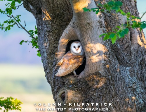 Yorkshire Barn Owls – My first encounter with a beautiful family