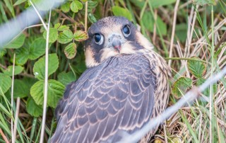 Peregrine Falcon Chick Hit the Barbed Wire On His First Flight