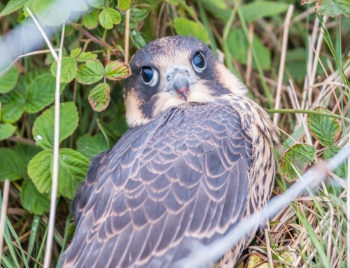 Peregrine Falcons – The First Flight Never Ended Well.