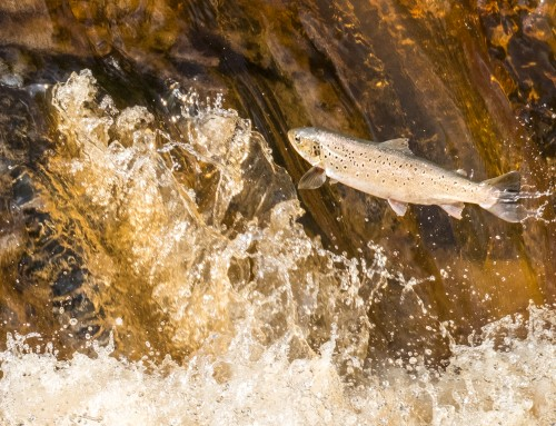 The River Esk In Yorkshire, Migratory Fish On The Move