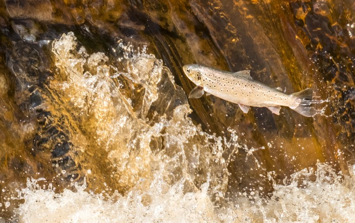 Migratory Sea Trout And Salmon On The River Esk In North Yorkshire