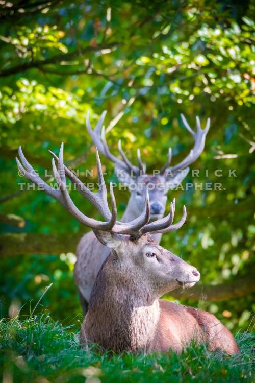 Two Red Deer Stags In Portrait