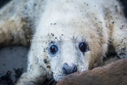 Seal Pups On The Yorkshire Coast (1 of 1)