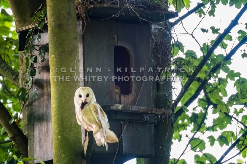 North York Moors Barn owl returning With Lunch For The Chicks.