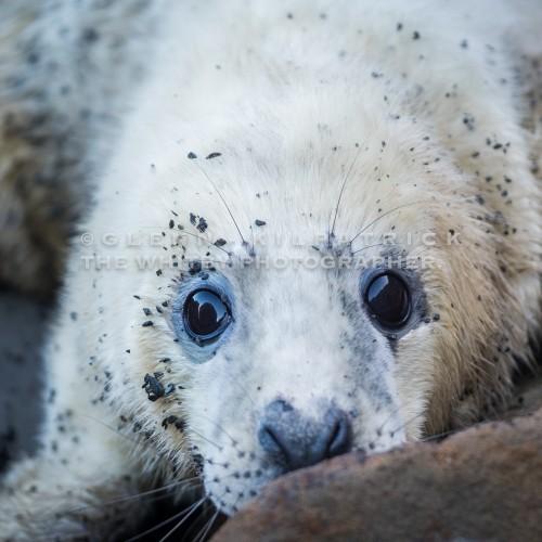 Yorkshire Coast Seal Pups