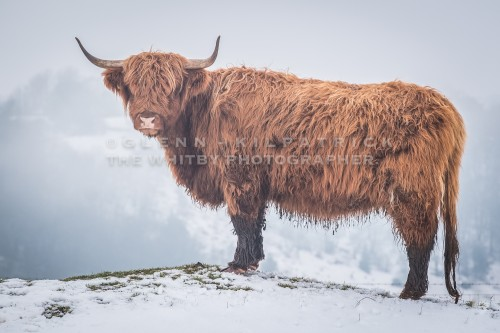 Highland Cows At Levisham