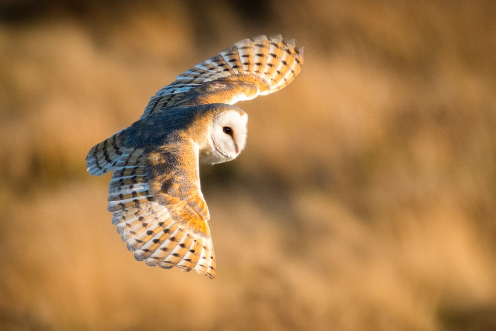 Barn Owls Of The North York Moors National Park.