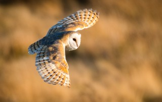 Barn Owl Calendar 20198 Barn Owls Of The North York Moors National Park.