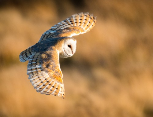 The Barn Owls Are Back – North York Moors National Park